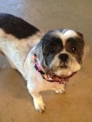 Audry Creek is a delightful little female Shih-Tuz who is appx 10-12 years old and weighs about 15 lbs She loves everyone and everything.....she is super happy, enjoys snuggling, rides great in the car and just follows her foster mama around, tail wagging, smile on her face!!!!  Audrey does appear to be housebroken, but due to her age, 8 hours alone all day is a bit long for her to hold it  This girl has good years to give and is going to make a fabulous companion for someone…