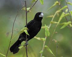 Foto bicudo (Sporophila maximiliani) por Marcio Repenning | Wiki Aves - A Enciclopédia das Aves do Brasil