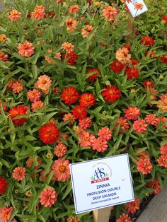 AAS Zinnia Winners Profusion Double Deep Salmon and Double Zahara Fire at AAS Display Garden Schenley Plaza.