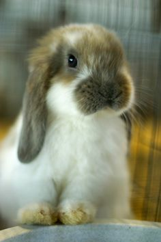 Lop-eared rabbit