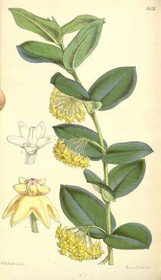 1230 Hoya cumingiana Decne. / Curtis's Botanical Magazine, vol. 85 [ser. 3, vol. 15]: t. 5148 (1859) [W.H. Fitch]