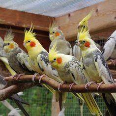 Galerie. Herzlich Willkommen! Fast alle Vögel die in der Galerie gezeigt werden, sind auch bei mir zu besichtigen. Caique Parrot, Parrot Bird, Beautiful Birds, Animals Beautiful, Beautiful Butterflies, Cockatiel, Budgies, Animals And Pets, Cute Animals