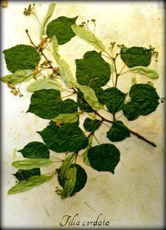 Little Leaf Linden Tilia cordata  Pressed Botanical by Ecobota, $35.00
