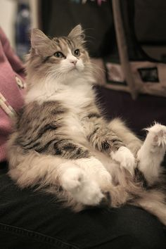 Norwegian Forest Cat-my Lucy sits like this all the time!