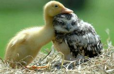 Baby duck with baby owl.