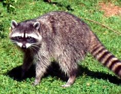 Look up homemade remedies to repel raccoonsand you'll find some things to actually work
