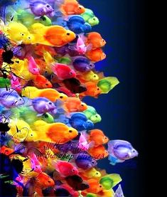 colorful fish -  I think our Heavenly Father saved the greatest variety and colors for the oceans. I am grateful for this beauty.