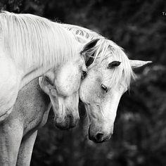 SOULMATES ❤️ . . ©️️ Tanja Schneider Photography #equine #horse #häst #cheval #cavallo #equus #horsephotography #equinephotography #femalephotographer #yycphotographer #calgary #alberta #equineartist #finearts #fineartphotography #horseaddict #natgeoyourshot #shotoncanon #pixeltheplanet #marvelshots #horselove #instahorse #bestofhorses #galleryart #fineart_photobw #whitehorses #equestrian #horselife #horseriding #Regram via @tanjaschneiderphotography