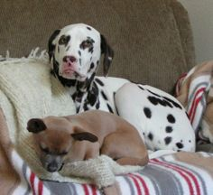 two month old damatians | About Dogs Photo Gallery - Dog Photos & Pictures - Dalmatians