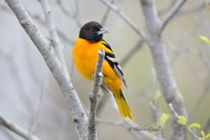 ANOTHER Oriole! They Like Me :) by Heather Cardle on 500px