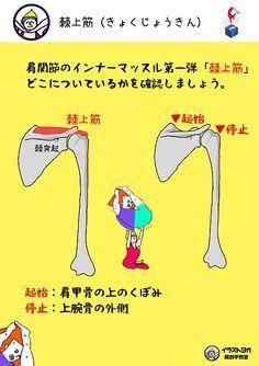 イラストヨガ解剖学教室 | 「棘上筋(きょくじょうきん)」                                                                                                                                                      もっと見る