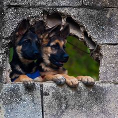 Cute Dogs - German shepherd pups, ready to take over the world. Beautiful Dogs, Animals Beautiful, Cute Animals, Baby Dogs, Dogs And Puppies, I Love Dogs, Cute Dogs, Canis Lupus, Schaefer