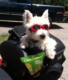 Snacks, check! Seat-belt, check! Doggles, double check! Schnauzer, triple check! Let's ride!