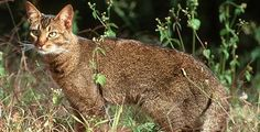 Mac's ancestor!  I see now why he climbs so well and loves hunting shrews. African Wild Cat.