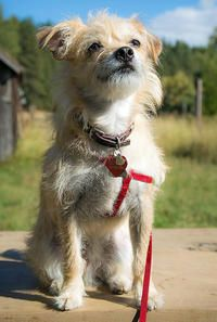Oliver the Terrier Mix