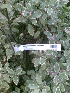 Pittosporum Elizabeth is an attractive evergreen foliage shrub.  Elizabeth has variegated leaves which act as a foil to other plants in a mixed border. Each leaf is edged with a lovely pink, adding gorgeous subtle colour into a winter garden.  It can be clipped to shape to enliven a border or to create a colourful hedge. The small flowers delight with their scent.