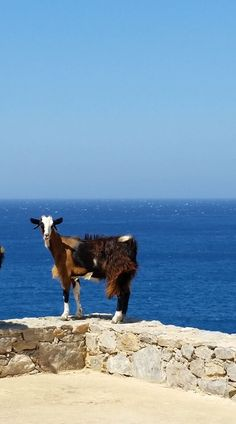 THIS GOAT LIVES BETTER THAN I DO. What a lucky goat to have such a view! (A goat in Amorgos island)