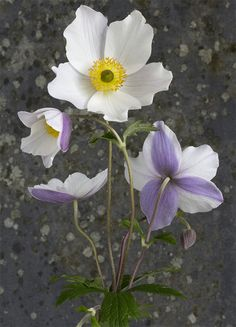 Japanese Anemone 'Wild  Swan'.  White flowers with lilac-blue bands on the reverse of the petals.  Chelsea 2011 Plant of the Year. Z 6