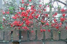Flowering quince (Chaenomeles)~~Flowering quince (Chaenomeles)  If you've got a black thumb, flowering quince is a good choice. Virtually indestructible, flowering quince tolerates climate extremes and neglect. This deciduous thorny shrub can stretch up to 8 feet wide, makes great natural fencing, and puts on a big show of blossoms in winter. Plant in spring or fall.