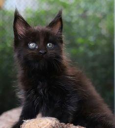 All black Maine Coon kitten Animal Magic, My Animal, Maine Coon Kittens, Cats And Kittens, Warrior Cats, Pet Birds, Cute Cats, Creatures, Tuxedo Cats