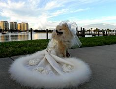 Tazi Tiara Please vote for Tazi Tiara, she is a super cute pom.  Very sweet and happy girl. Please vote at Pawvogue.com.