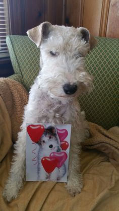 Wire fox terrier. Www.rumplepimple.com