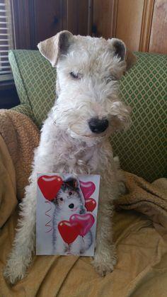 Wire fox terrier. Www.rumplepimple.com