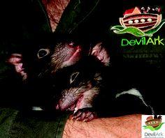 Tasmanian devil joeys at Devil Ark - Midnight and Lloyd