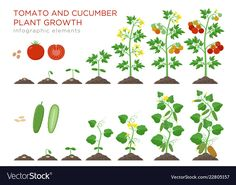 Tomato and cucumber plants growth stages infographic elements in flat design. Planting process from seeds sprout to ripe vegetable, plant life cycle isolated on white background vector illustration.