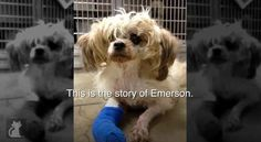 Abused Dog Keeps Running Away From Home and Finally Finds Help.  Yay for Emerson!