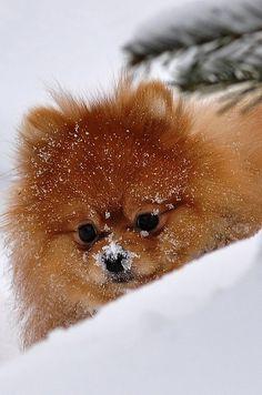 Pomeranian #snow
