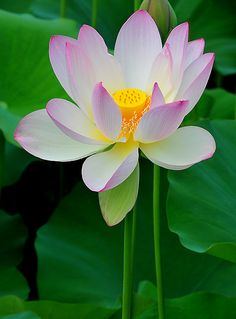Water lily  - The water lily flower stands for perfect beauty.