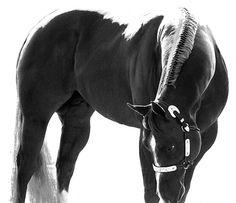 Quite Repose - Quarter Horse Stallion