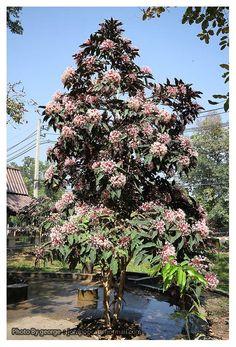 สาวสันทราย ดอกกำลังอลังการ ขอแลกไม้ผลปลูกในกระถางได้กินผลครับ Guava Tree, Tropical Backyard, Monstera Deliciosa, Pear Trees, Lush, Planting, Gardening, Christmas Tree, Sky