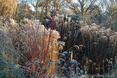 Miscanthus Ferner Osten | Knoll Gardens | Ornamental Grasses and Flowering Perennials