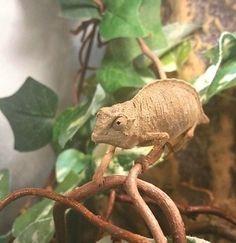 pygmé kameleont trio | Terrariedjur.se