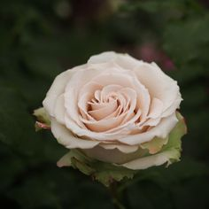 Rose, Desert, バラ, デザート, | Flickr - Photo Sharing!