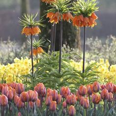 The exotic orange flowers of Fritillaria Rubra Maxima combined with Tulip Orange Princess makes a bold late spring blooming combination.