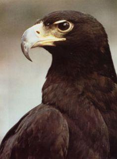 ♥49{JG}  BLACK EAGLE Wild Eagle, Eagle Images, Black Eagle, Eagle Bird, Eagle Design, Bird Silhouette, Welcome To The Jungle, Big Bird, Birds Of Prey
