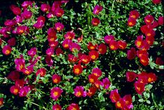 Purslane, another favorite. Drought Tolerant full sun.  Looks great in hanging baskets and is considered an herb in the Mediterranean  Middle East . They use it in soups and salads.