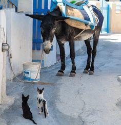 Donkey at Skopelos island, Sporades, Aegean sea, Greece Santorini, I Love Cats, Cute Cats, Animals And Pets, Cute Animals, Greek Animals, Greek Culture, The Donkey, Greek Islands