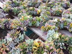 1 Living Succulent Wreath 12 Diameter ready to by SANPEDROCACTUS, $80.00
