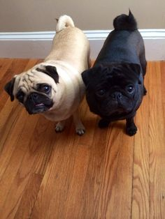 Double Trouble - I know you would love to get a fawn #pug to keep Zoey company...