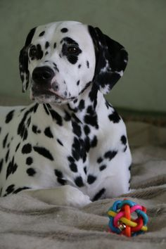 Dalmatian,  nothing compares  to  a Dal.