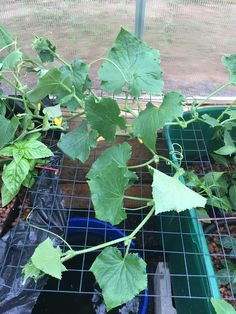 Connecticut USA. First outdoor hydroponics grow. Will this cage support a cucumber plant? #gardening #garden #DIY #home #flowers #roses #nature #landscaping #horticulture