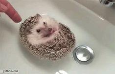 Porco-Espinho  Bebê