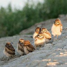 Burrowing owls, California