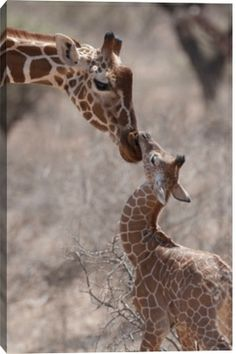 Giraffe mom  baby in Kenya, Africa