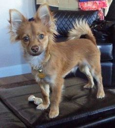 Dog of the Day: Popeye the Chihuahua/Pomeranian/Dachshund ... |Long Chihuahua Dachshund Pomeranian Mix