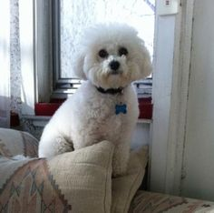 My first Bichon Frise...Leonard. He\'s quite the \